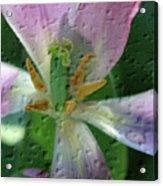Tulip Passing Beauty Acrylic Print