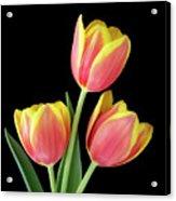 Tulip Passion Acrylic Print