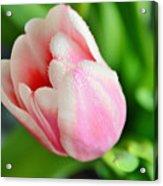 Tulip Portrait Acrylic Print
