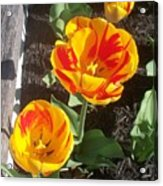 Tulip Red And Orange Acrylic Print