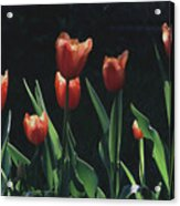 Tulip Red Flair Acrylic Print