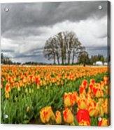 Tulip Rows Acrylic Print