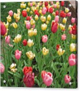 Tulip Time Trail Acrylic Print