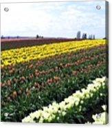 Tulip Town 11 Acrylic Print