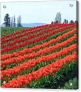 Tulip Town 18 Acrylic Print