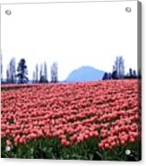 Tulip Town 3 Acrylic Print