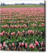 Tulip Town 5 Acrylic Print