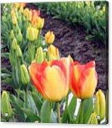 Tulip Town 6 Acrylic Print