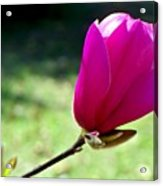 Tulip Tree Blossom Acrylic Print
