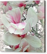 Tulip Tree Blossoms - Magnolia Liliiflora Acrylic Print