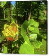 Tulip Tree Acrylic Print