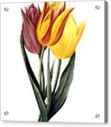Tulip (tulipa Gesneriana) Acrylic Print