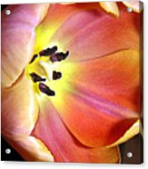 Tulip Up Close Acrylic Print