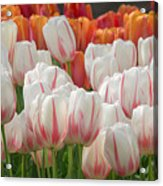 Tulip Wave Acrylic Print