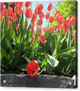 Tulipes Tulipe Acrylic Print
