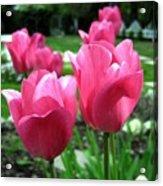 Tulipfest 3 Acrylic Print