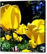 Tulipfest 5 Acrylic Print