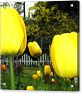 Tulipfest 8 Acrylic Print