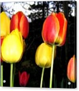 Tulipfest 9 Acrylic Print