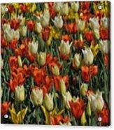 Tulips 1 Acrylic Print