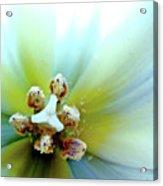 Tulips #12 Acrylic Print