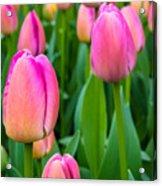 Tulips 5 Acrylic Print