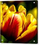 Tulips 7 Acrylic Print