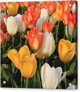 Tulips Ablaze With Color Acrylic Print