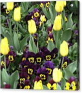 Tulips And Pansies Acrylic Print