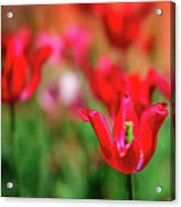Tulips At Honor Heights Acrylic Print