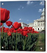 Tulips At The Capitol Acrylic Print