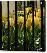 Tulips Behind Bars Acrylic Print