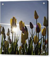 Tulips Blooming With Sun Star Burst Acrylic Print