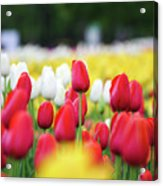 Tulips By Jared Windmuller - Tulip - Red -  Acrylic Print