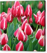 Tulips - Candy Apple Delight 02 Acrylic Print