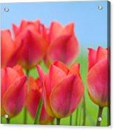 Tulips Close Up  Acrylic Print