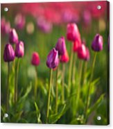 Tulips Dream Acrylic Print