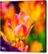 Tulips Enchanting 15 Acrylic Print
