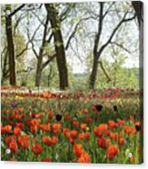 Tulips Everywhere 2 Acrylic Print