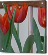 Tulips For You Acrylic Print