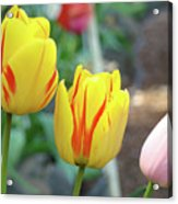 Tulips Garden Art Prints Yellow Red Tulip Flowers Baslee Troutman Acrylic Print