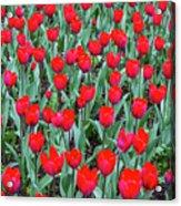 Tulips In Kristiansund, Norway Acrylic Print