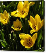 Tulips In Sping Acrylic Print