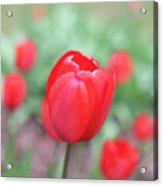 Tulips In Spring 4 Acrylic Print
