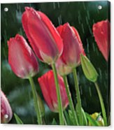 Tulips In The Rain Acrylic Print