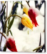 Tulips In The Snow Acrylic Print