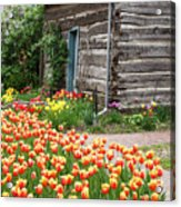 Tulips Lead To The Cabin Acrylic Print