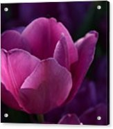 Tulips Purple Layers Acrylic Print