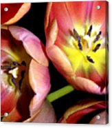 Tulips Reaching For The Light Acrylic Print
