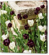 Tulips Surround The Bird Bath Acrylic Print